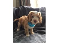 Beautiful Litter of Apricot Cockapoo Puppies/Home Raised