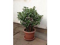Large jade plant/money plant (Crassula ovata)
