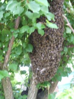 BEE SWARM REMOVAL FREE CAMPBELLTOWN  AREA,service within an hour.
