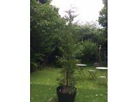 Leylandii trees