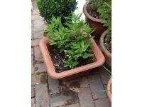 Austromeria plant in pot