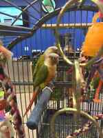 Conures pineapple