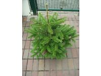 Fir tree for sale . About 1 m high . Ready to be planted .