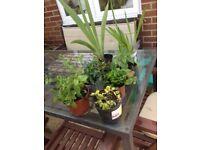 Perennial plants for the garden, £1.50 each