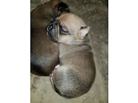 Gorgeous Jug pups for sale!