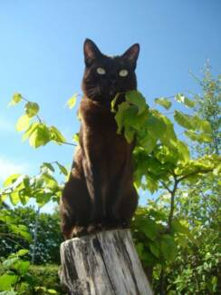 Malayan Tabby Cat (Black Tabby) Raymond Terrace Port Stephens Area Preview