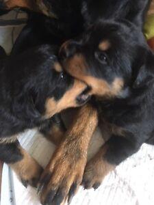 Beautiful Purebred CKC Registered German Rottweiler Pups
