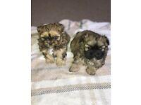 2 female pedigree shih tzu puppies