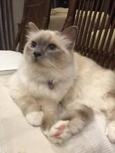 """Gorgeous Birman Cats (16 m old) Brother & Sister """"Sugar & Spice"""" McMahons Point North Sydney Area Preview"""