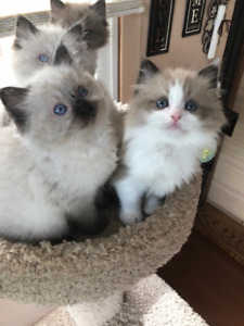 ragdoll kittens ready to go now