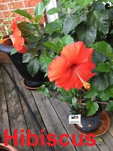 FLOWERING AND DECORATIVE PLANTS FOR SALE