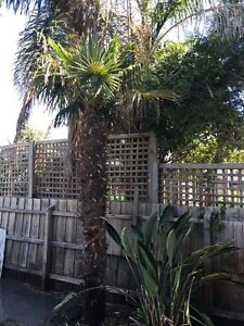 Palm Tree for sale Patterson Lakes Kingston Area Preview