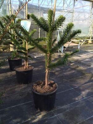 Monkey Puzzle Tree in 28cm Pot.  80-85cm tall approximately.  Araucaria Araucana