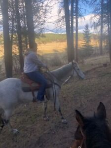 12 yr old broke safe AQHA trail mare