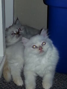 Beautiful Persian x Himalayan Kittens