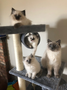 Sweet Ragdoll kittens