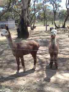 Female alpacas Maryborough Central Goldfields Preview