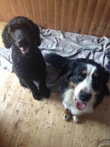 Bernadoodle Puppies