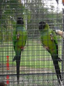 SNAPDRAGON & SWEATPEA - BREEDING PAIR NANDAY CONURES Caboolture Caboolture Area Preview