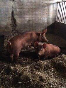 Purebred Tamworth Pigs