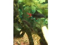 Cat Fish Synodontis - Aquarium Fish