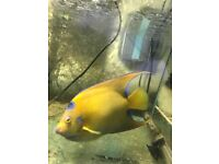 Marine Queen Angelfish (Adult) - £130