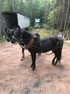 Mare horse for sale