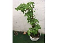 Climbing hydrangea x 2 two pots with gorgeous budding plants - pot plant outdoor