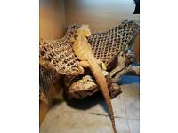 Bearded dragon And 4ft viv