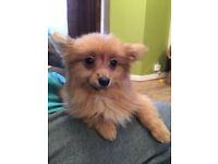 Pomeranian Puppy 07835 769707