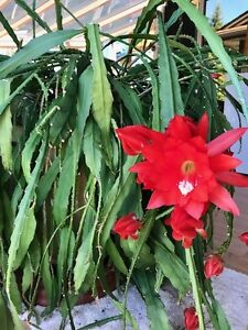 a type of Orchid Cactus, Epiphyllum.