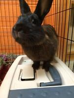 "Adult Male Rabbit - Dwarf: ""Captain Morgan"""