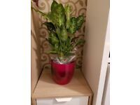 Brand new large size indoor plant with mixed cloure and black pot