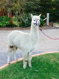 Wanted - alpaca shearer Boat Harbour Port Stephens Area Preview
