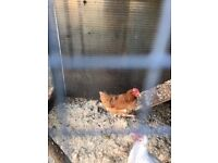 FREE Hen good Layer to a suitable home
