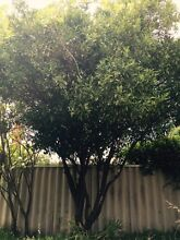 Large mature mandarin tree for sale West Perth Perth City Preview