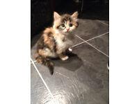 Beautiful kitten girl for sale