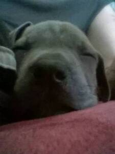 NEOPOLITAN BLUE MASTIFF X RED SABLE AMSTAFF   PUPPIES Nowra Nowra-Bomaderry Preview