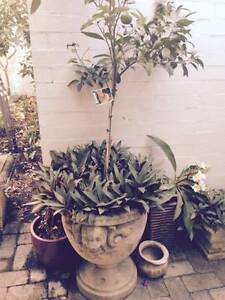 Sandstone Pot with Mandarin and other plants Como South Perth Area Preview