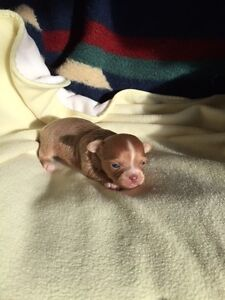 Long haired male chihuahua puppy for sale