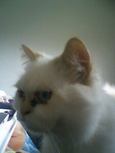 Persian cat in need of a good home