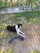 Family Border Collie cross Cattle Dog for Sale Kirwan Townsville Surrounds Preview