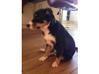 Gorgeous Collie puppies in need of loving home
