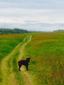 Dog Walking Calgary NW