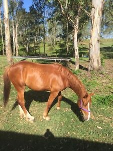 Thoroughbred cross Clydesdale North Maclean Logan Area Preview