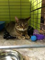 """Young Male Cat - Domestic Short Hair: """"Charlie 15 (PN 81)"""""""