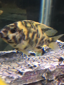 OB Peacock Yellow group for sell 5 Females 1 Males
