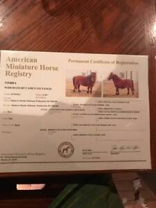 Miniature Horse - Show quality, cuddly, friendly mare