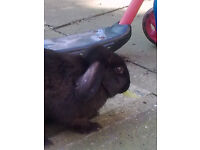 Rabbits, 8 months old, 2 boys, £8.00 each