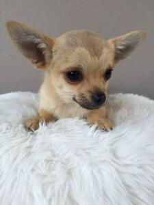 GORGEOUS CHIHUAHUA PUPS FOR SALE Mount Pleasant Melville Area Preview